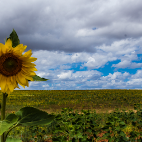 Sunflower by Alexandre Mestre - Flowers Flowers in the Wild ( beja, clouds, field, alentejo, agriculture, cloudy, sunflower, portugal )