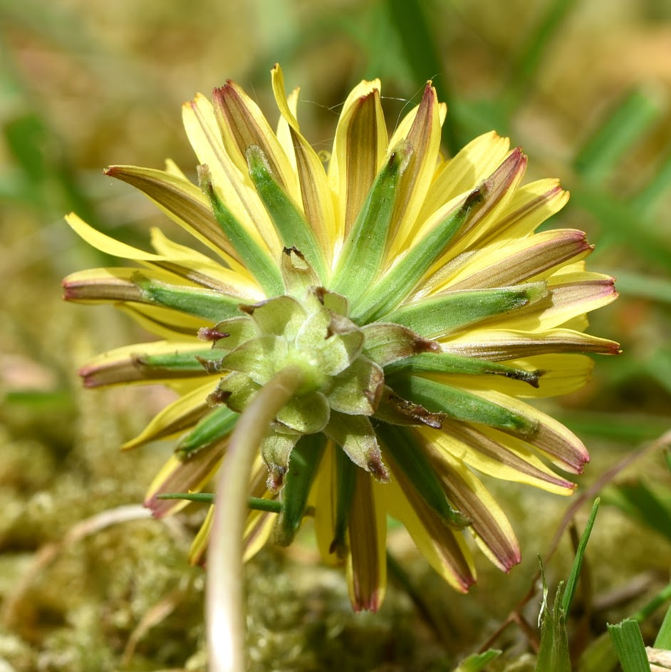 onderzijde lintbloemen