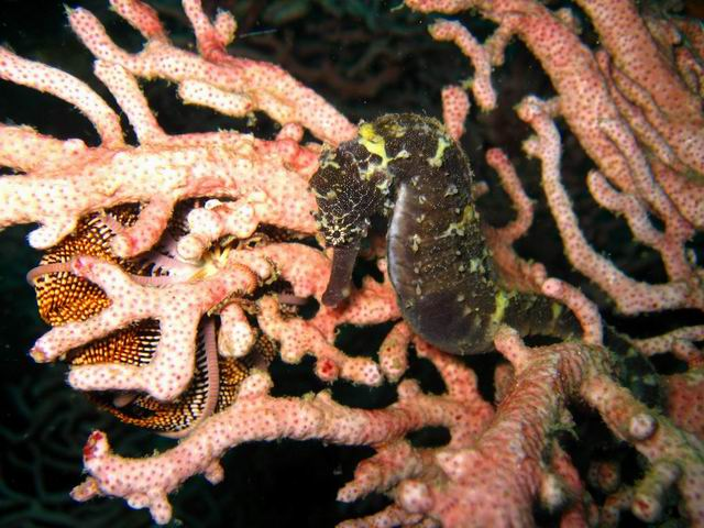 Photo: Hippocampe noir aux Mergui