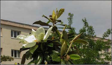 Photo: Magnolia grandiflora - din Turda, Parcul Teilor - 2019.06.07