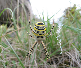 Photo: Argyope  bruennichi   ARACHNIDA > Araneae > Araneidae