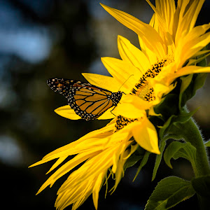Sunflower and Butterfly -sig -3128-2.jpg