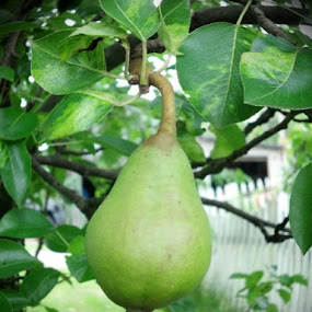 Pear  by Catherine Dulaney ( Johns)  - Nature Up Close Gardens & Produce ( fruit, tree, nature up close, pear )