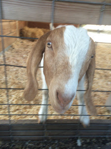 Goat sticking its head through a fence