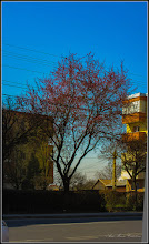 Photo: Corcodus ornamental rosu  (Prunus cerasifera Nigra) - de pe Calea Victoriei - 2017.04.01