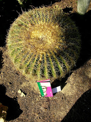 Echinocactus grusonii adulto de las ruinas de Itálica