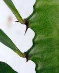 Detalle. Falsa areola con espinas y hojas de la Euphorbia trigona