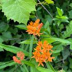 Orange butterfly milkweed