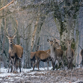 Family by Adrian LUPSAN - Animals Other ( animals, winter, family, snow, forest, stag, deer,  )