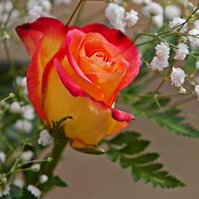 by Gary Enloe - Flowers Single Flower ( rose, thorns, leaf, stem, pedal, flower )