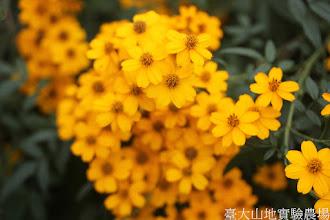 Photo: 拍攝地點: 梅峰-溫帶花卉區 拍攝植物: 芳香萬壽菊 拍攝日期: 2015_11_13_FY