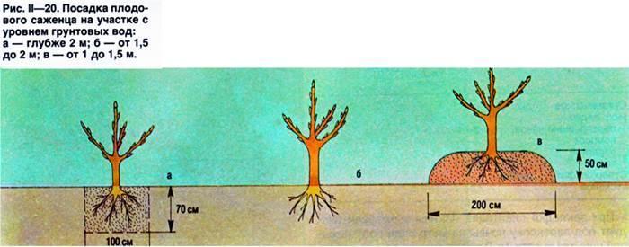 Посадка плодового саженца в зависимости от уровня грунтовых вод