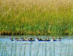 Photo: Brood of Barrow's Goldeneye ducklings, Odell Creek, Davis Lake