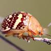 Tea Tree Leaf Beetle