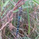 Blue Hawker Dragonfly