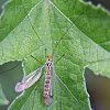 Spotted Cranefly