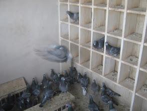 Photo: Hembras adultas en el palomar de vuelo asustadas con la visita.