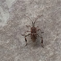 Western Leaf-footed Bug