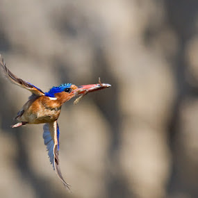 Frog Meal. by Hennie Cilliers - Animals Birds ( malachite kingfisher., animal, motion, animals in motion, pwc76 )