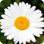 Camomile Wallpapers APK icon