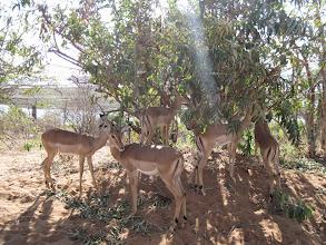 Photo: impala
