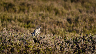 """Photo: Bird N°16 Mistle Thrush - Turdus viscivorus I'm not even sure how I saw this bird to begin with, it was down it the heather and only it's head was visible. As you can see here the colouring of the Mistle Thrush is the perfect camouflage amongst the heather. After a few minutes it hoped up on to the top of the heather and I got a few shots in before it took flight.  Shot Details Exposure - 1/250th second Aperture - f5..6 ISO - 400 Focal Length - 250mm  The Mistle Thrush - Turdus viscivorus is a member of the thrush family Turdidae. It is found in open woods and cultivated land over all of Europe and much of Asia. Many northern birds move south during the winter, with migrating birds sometimes forming small flocks.  Description The Mistle Thrush averages about 27 cm long, larger than the similar Song Thrush. The sexes are similar, with plain greyish brown backs and neatly round-spotted underparts. The breast has much less buff than the Song Thrush.  Behaviour The male sings its loud melodious song from a tree, rooftop or other elevated perch, often during bad weather or at night, and starting relatively early in the spring — hence the Mistle Thrush's old name of """"Stormcock"""". The song is like a harder and simpler version of the Blackbird's. The alarm call is said to sound like a football rattle (a form of musical ratchet) or machine gun. It is omnivorous, eating insects, worms, small reptiles, seeds and berries. A Mistle Thrush will defend a berry-bearing tree against other thrushes in winter. Mistletoe berries are amongst its diet. They nest in trees, laying several eggs in a neat cup-shaped nest lined with grass. The smooth, glossy pale blue eggs have reddish-brown spots, and are approximately 15 mm by 13 mm. The female incubates the eggs by herself. After the young hatch, they are fed by both parents.  Movements The Mistle Thrush is resident with most birds being sedentary, but some do migrate; for example, some Scottish birds winter in Ireland and others mak"""