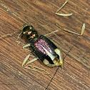 Carolina Metallic Tiger Beetle