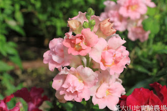 Photo: 拍攝地點: 梅峰-溫帶花卉區 拍攝植物: 金魚草 拍攝日期: 2015_10_05_FY