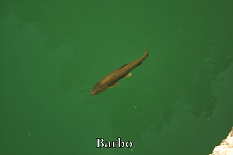 Photo: Barbo