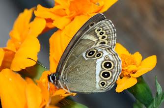 Photo: LOPINGA ACHINE  Lepidoptera Nymphalidae