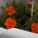 Durango Red Marigold