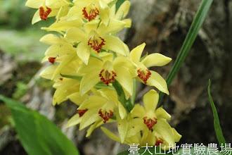 Photo: 拍攝地點: 春陽-蘭園 拍攝植物: 黃鶴頂蘭 拍攝日期:2012_05_09_FY