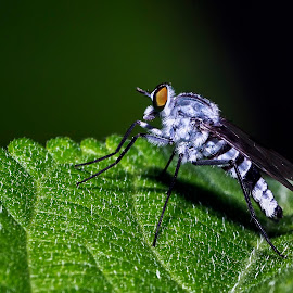 Blue Fly by Geoffrey Wols - Animals Insects & Spiders ( macro, blue, long legged fly, insect, philippines, leaf,  )