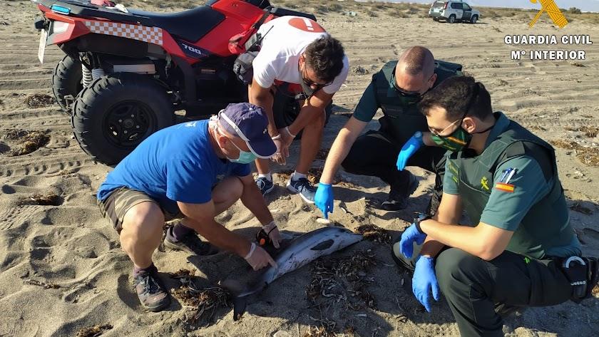 La Guardia Civil rescatando al delfín varado