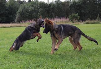 Photo: Ayla og Argus i vilter lek, 7 mnd