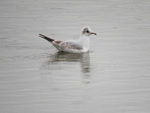 Photo: Priorslee Lake This 1st winter Black-headed Gull is starting to moult in to 1st summer plumage and will get a variable amount of black on the hood and lose most of the brown feathering in the wing. (Ed Wilson)