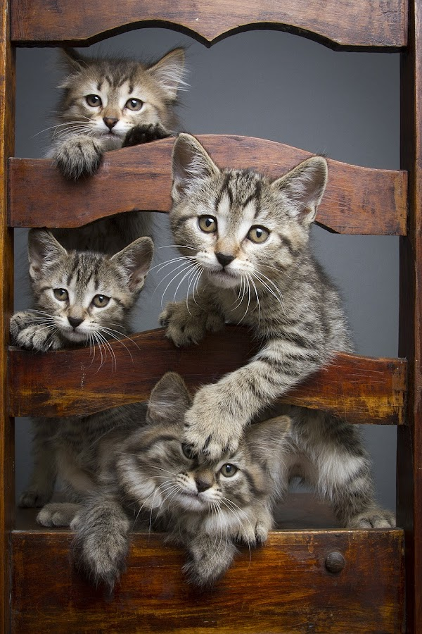 jessica's babies by Eric Christensen - Animals - Cats Kittens ( chair, kittens, four, cute, tabbies )