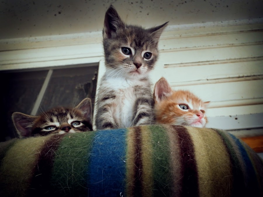 Kitttens by Chelsea Woodhouse - Animals - Cats Portraits