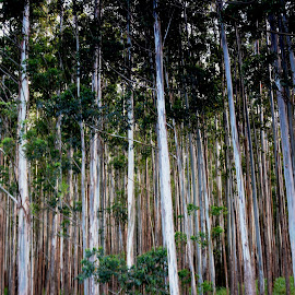Eucalyptus Contrast by Beth Bowman - Nature Up Close Trees & Bushes (  )