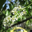 Black Cherry Tree (Flowers)