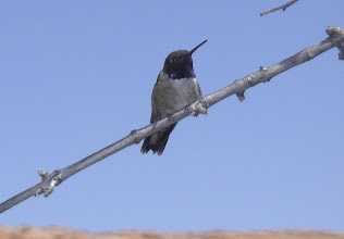 Photo: Male Black-chinned with pointed tail-feathers.