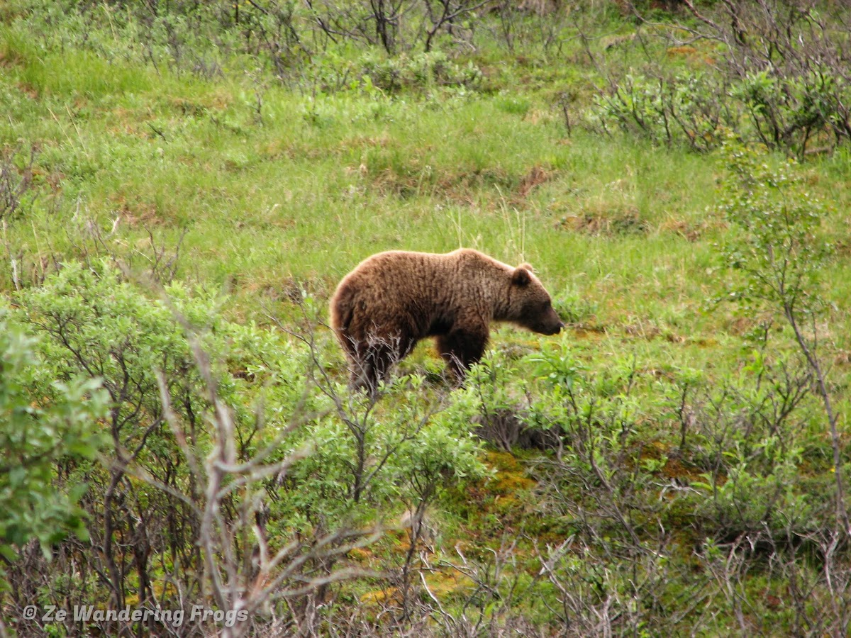 USA Alaska Itinerary 7 Days // Denali National Park Grizzly Bear