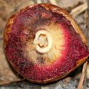 Acorn Plum Wasp Gall