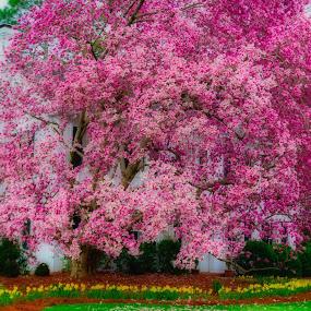 Tulip Tree by Teresa Solesbee - Flowers Tree Blossoms ( spring, flowers, tulip tree )