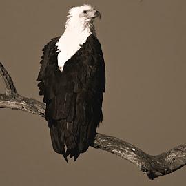 Fish Eagle by Pieter J de Villiers - Black & White Animals