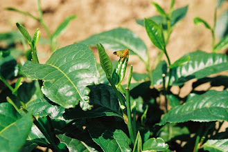 Photo: Our pesticide-free puer is sometimes eaten by the insects. Here is another sign of life among the tea.