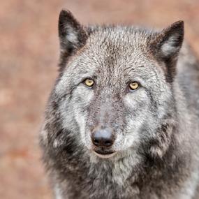 Wolf by Herb Houghton - Animals Other Mammals