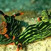 Variable Neon Slug/Nudibranch