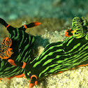 Variable Neon Slug/Nudibranch