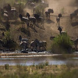Drinking water by David Botha - Animals Other Mammals ( zebra, antelope, wild, water, wildlife )